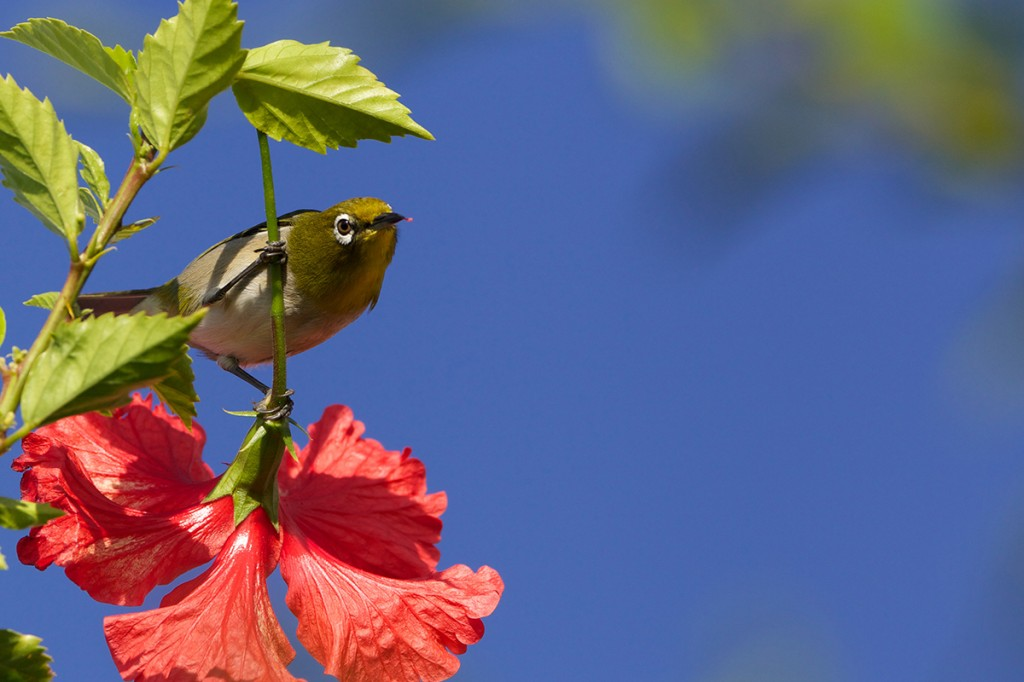 The Japanese White-eye also known as Mejiro.